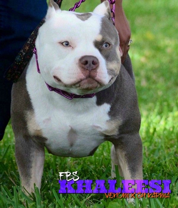 Top American Bully Bloodline Venomline Bully Dog Bullying