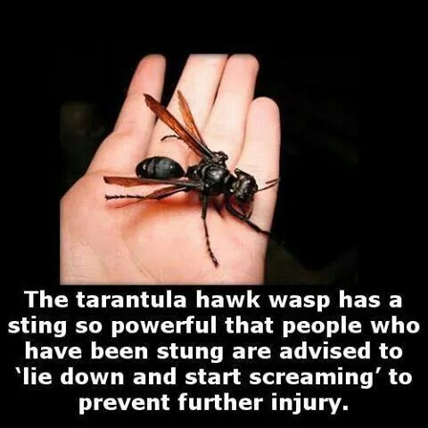 Tarantula hawk wasp