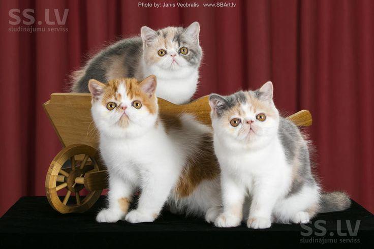 Кошки, котята Экзотическая короткошерстная, цена 600 €, Фото