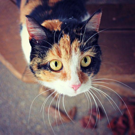 Kuvahaun tulos haulle yellow calico cat