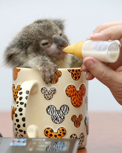 This tiny little koala is racing full bottle to a good recovery. The adorable joey was found abandoned beside a road in Brisbane, Australia. Named after the man who discovered him, Raymond was dehydrated and skinny, and weighed just 260g.