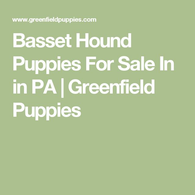 Basset Hound Puppies For Sale In in PA   Greenfield Puppies