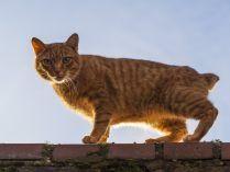 Gato Manx atigrado