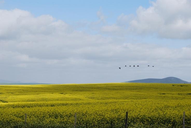 Canola Fields, Western Cape SA
