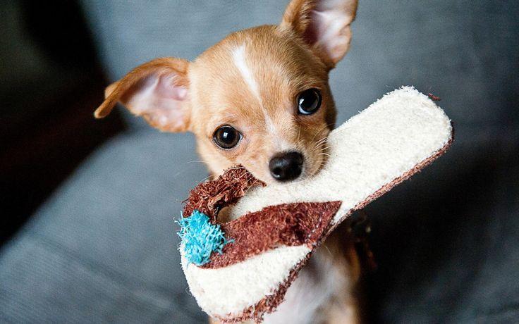 Il cane più piccolo del mondo? Il Chihuahua. Venite con noi alla scoperta di questo piccolo topo cane tanto amato a Hollywood...
