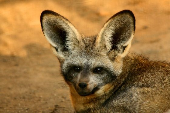 Bat eared fox - photo#11