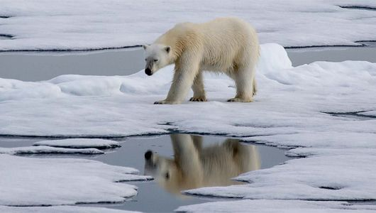Polar bears are more than furry white Arctic beasts. In fact, their fur is not even really white!