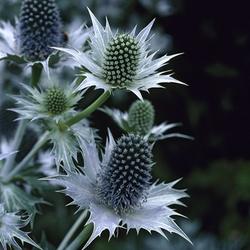 Sea Holly, Eryngium gigantium, 'Mrs. Wilmott's Ghost'