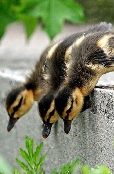 Mallard ducklings ~ Hey Don't Push
