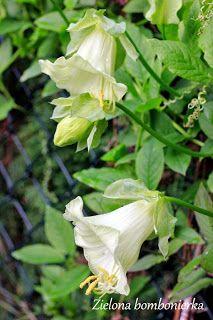 Zielona bombonierka: Czepialska kobea, czyli duża masa zieleni w szybkim czasie.