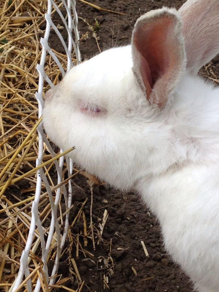 Stewie NZ white rabbit