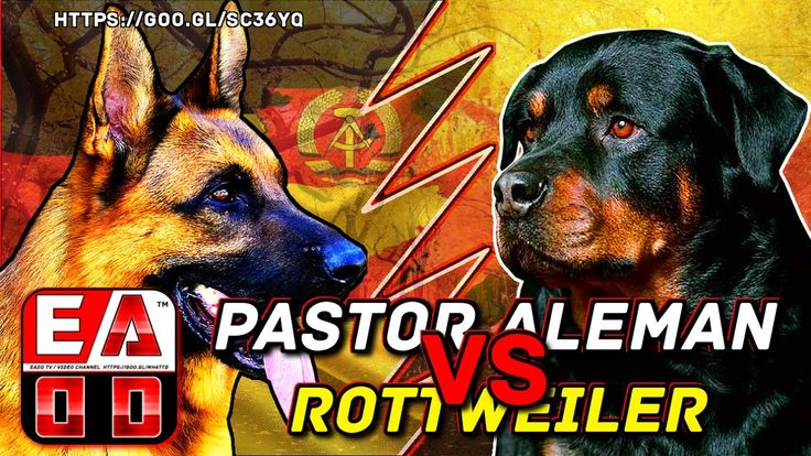 PASTOR ALEMAN VS ROTTWEILER -  Pelea a muerte hipotética - ¿ Quien gana?