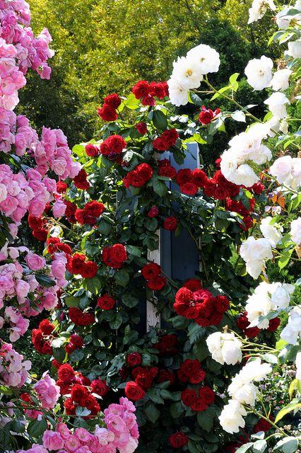 Rose garden,