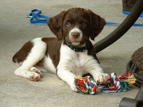 brittany spaniel puppies girls | Brittany Spaniel puppy picture submitted by Jasmine O. Submit your ...