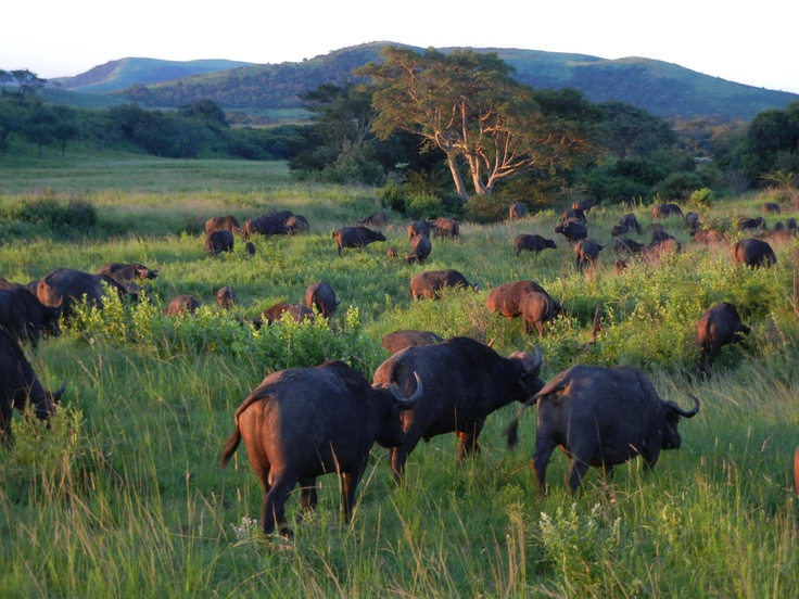 Buffalo herd slowing moving through the field.