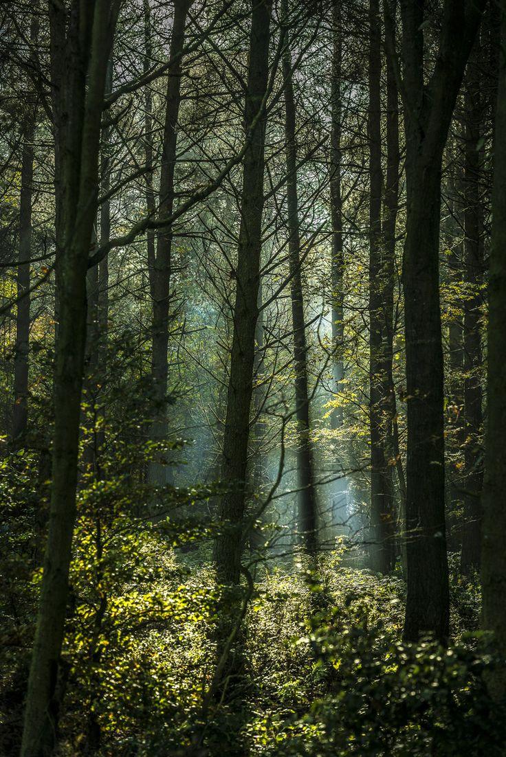 Druids Trees:  Sunlit #woods.