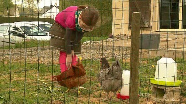Des poules comme animal de compagnie et pour réduire ses déchets ménagers. / © T.Bouilly