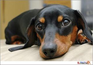 Love my weenie dog :) This looks exactly like my Stewie!