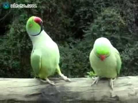 Two Adorable Talking Parrots Have Conversation