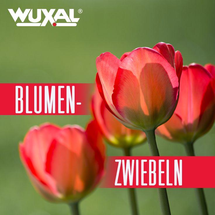 Bevor Sie anfangen, die Blumenzwiebeln einzupflanzen, sollten Sie sich Gedanken machen, welche Farbpallette Sie sich in Ihrem Garten wünschen. Bedenken Sie, dass Blüten wie Narzissen, Tulpen, Krokusse und Blausterne am besten zur Geltung kommen, wenn man sie in größeren Mengen setzt. Durch ähnliche Farben entsteht eine harmonische Wirkung. Pastelltöne sehen gut im Halbschatten aus, wo hingegen kräftige Farben in der Sonne eine strahlende Wirkung haben.