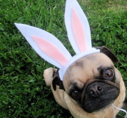 Super Cute Pugs Dress Up For Easter!