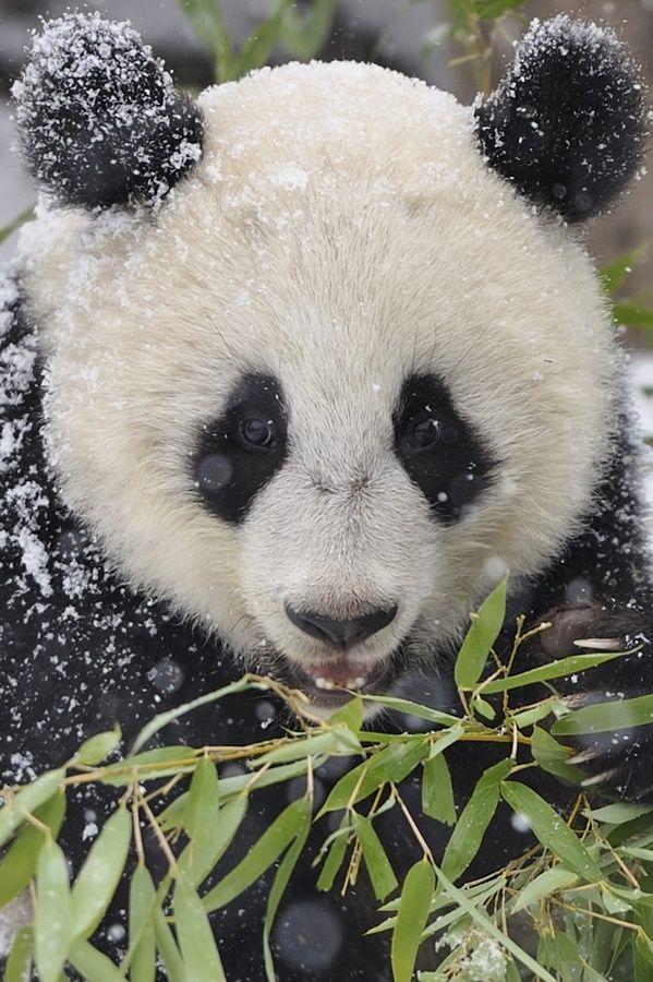 ~Panda Snowflakes by Josef Gelernter~