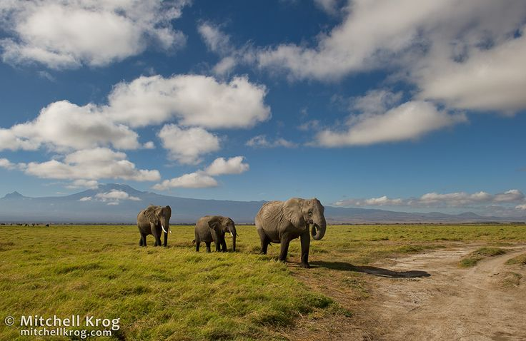 Elephants at Kilimanjaro | Amboseli, Kenya