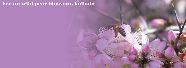 Bee on wild pear in Kranidi, fb covers by IzzyB