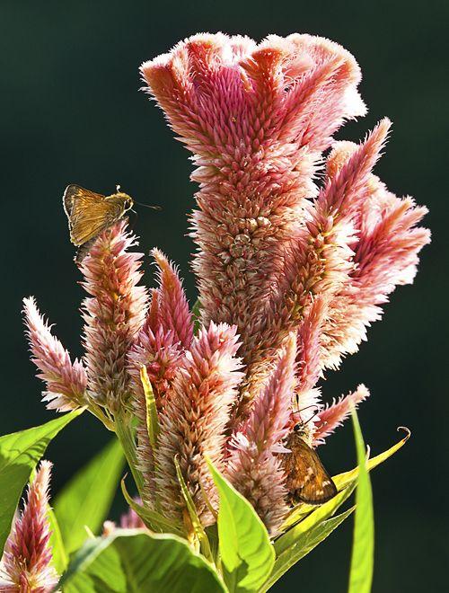 Skipper butterflies on Celosia (Cockscomb) flowers at Meadowlark Botanical Gardens