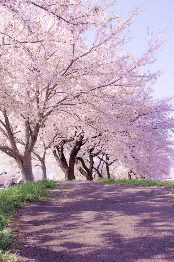 Beautiful cherry blossom trees in spring!