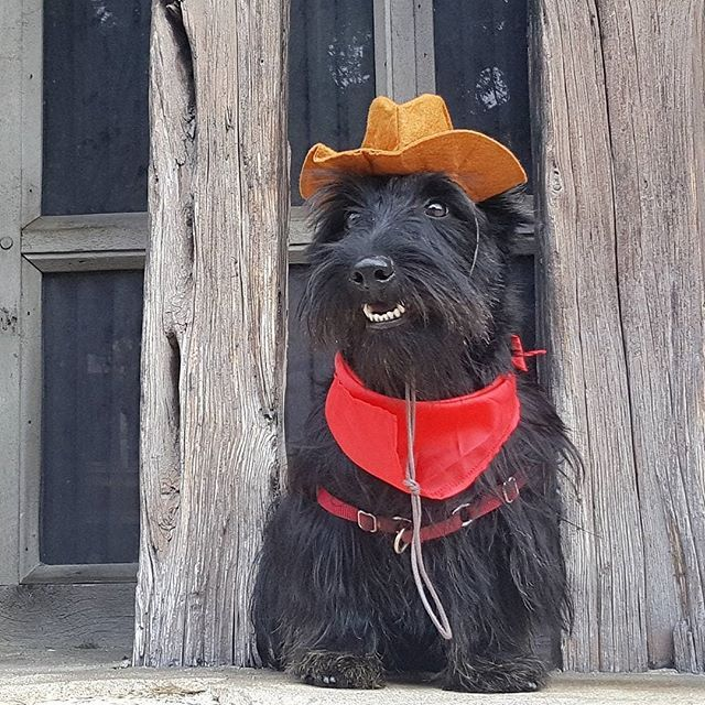 Way Back Wednesday To The Time I Was A Super Duper Macho Cowboy During My Visit To San Antonio Texas Hamiinmiami Does Scottie Dog Cutest Dog Ever Dog Rules