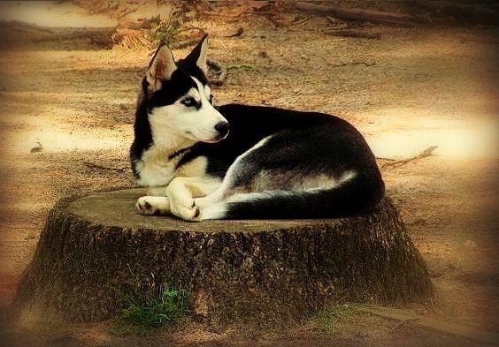 Siberian Huskies Siberianhusky Siberian Husky Husky Dogs Husky