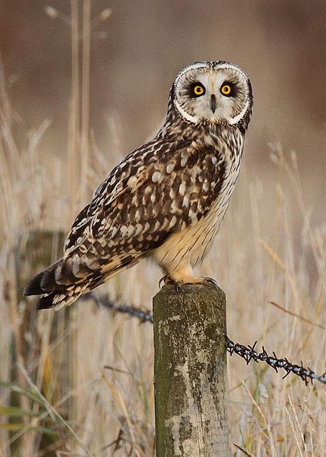 "Short-eared owl oct 15  Harry Bursell  ""After waiting all afternoon and when most people had left, this beautiful bird gave me 60 seconds and made my day"""