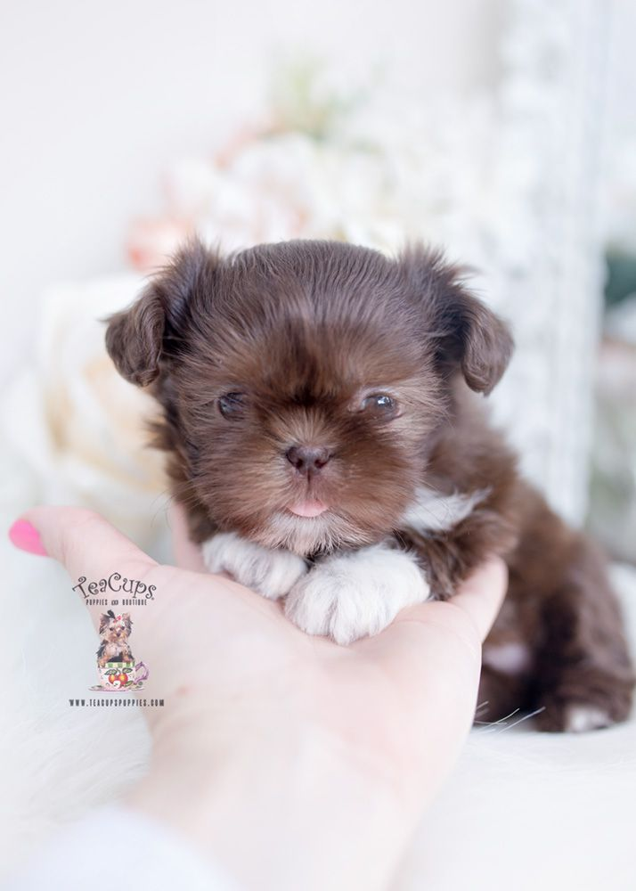 Chocolate Shih Tzu Puppy For Sale Teacup Puppies 266 B In 2020 Teacup Puppies Shih Tzu Puppy Shih Tzu
