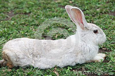 white rabbit layingon in grass