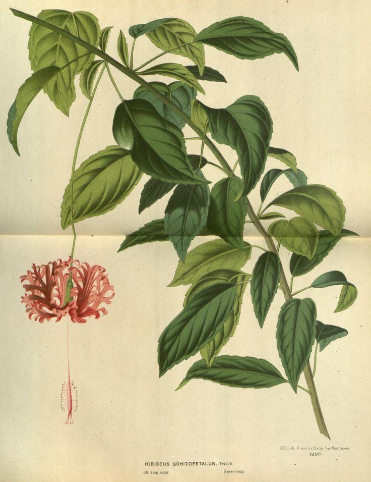 HIBISCUS SCHIZOPETALUS, VEITCH v.23 (1880) - Flore des serres et des jardins de l'Europe - Biodiversity Heritage Library
