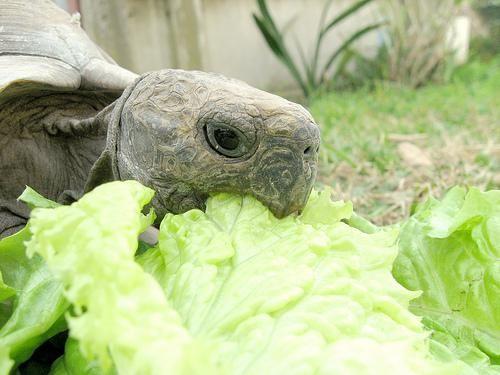 Qué comen y cómo las tortugas de tierra domésticas