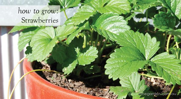 how to grow Strawberries. There's nothing better than the sweet flavour of home-grown strawberries! Loved by children and adults a like, it's little wonder this easy-to-grow groundcover is among the most popular food crops in Australian home gardens. For more http://www.aboutthegarden.com.au/index.php/how-to-grow-strawberries/ #strawberry #fruit #garden