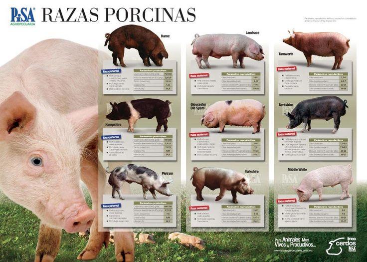Razas de Cerdos - 308 - Produccion de Cerdos