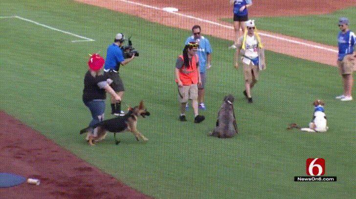 German Shepherd Gets Loose During Infield Warmups And A Baseball