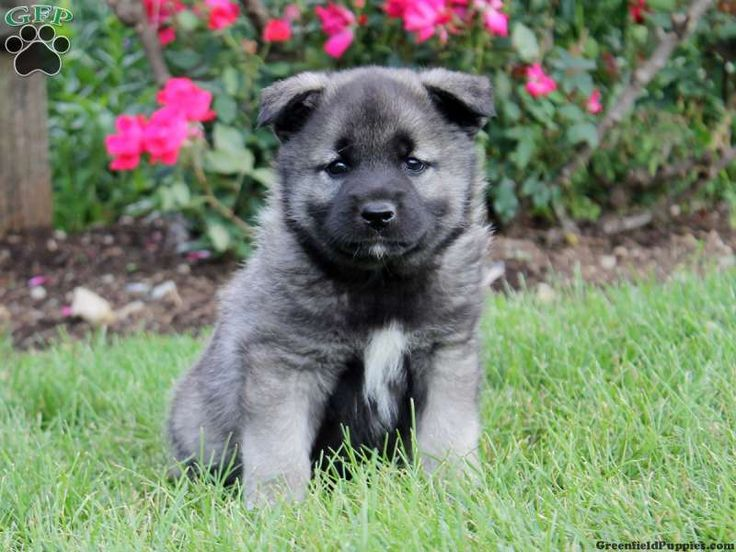 Norwegian Elkhound Puppies For Sale In PA