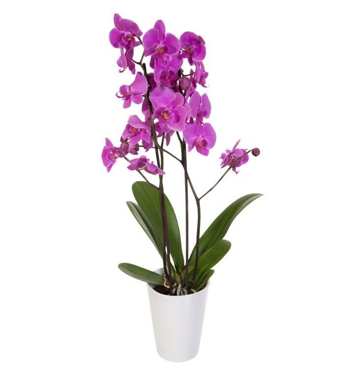 Orkidé ~ Orchidaceae
