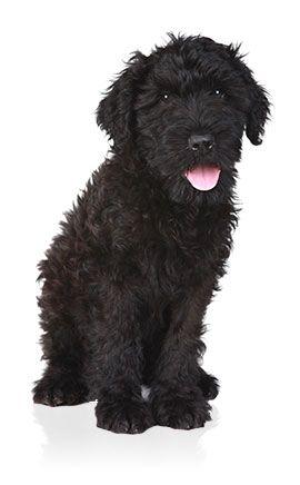 Terrier noir russe - Tout savoir sur le chiot et chien Terrier noir russe