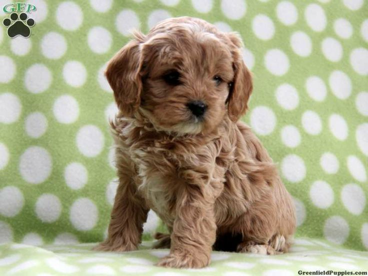Teacup maltipoo puppies for sale in Mississippi