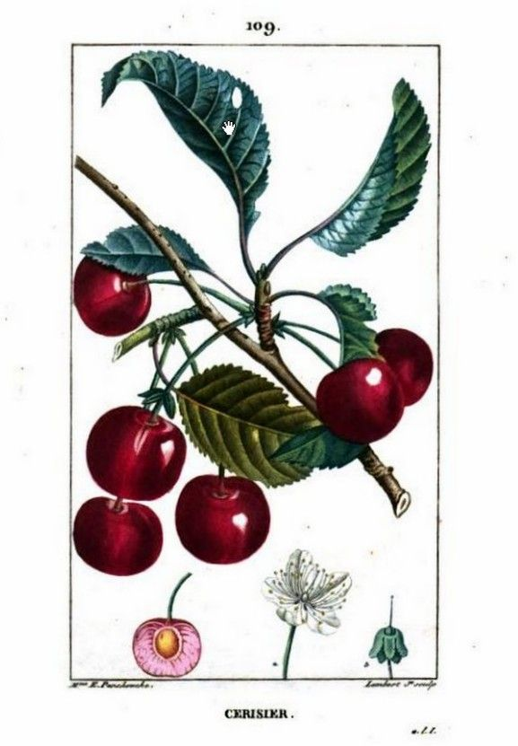 Painting of cherry plant, cherry blossoms and fruit. Flore médicale, by F.P. Chaumeton, Chamberet et Poiret, illustrated by E.M., illlustrated by E. Panckoucke and P.J.F. Turpin, published by C.L.F. Panckoucke (Paris), 1815 (on Google Books, original from Sapienza University of Rome (Biblioteca di Biologia Ambientale))