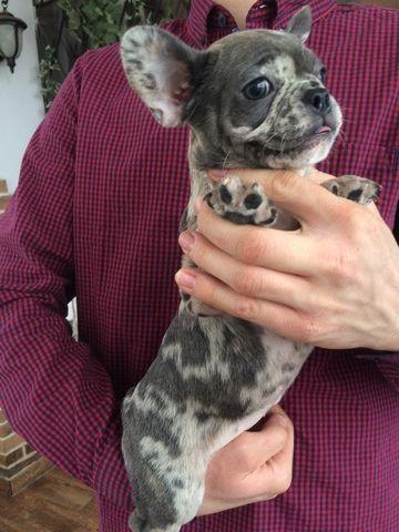 Litter of 9 French Bulldog puppies for sale in SAINT PETERSBURG, FL. ADN-63702 on PuppyFinder.com Gender: Female. Age: 10 Weeks Old
