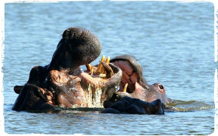 Hippo fun
