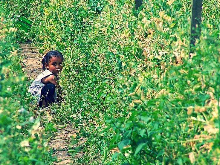 Picking peas, Summer harvest