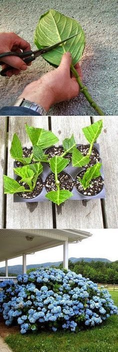 Rooting Hydrangea Cuttings. Great Hydrangea Idea