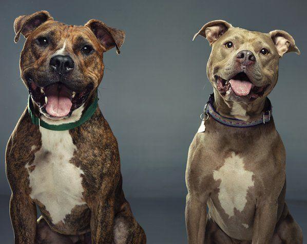 """Ainda em 2012, o artista americano Douglas Sonders iniciou um projeto que visa mudar a percepção humana sobre cães injustamente rotulados como valentões. O método encontrado foi retratar a história de animais de rua que, devido a tal fama de violentos, não encontram um novo lar. O termo """"raça de intimidação"""" abrange 14 raças. Entre elas, o Boxer, o Pit Bull e o Rottweiler, muito populares no Brasil. Por meio de belos retratos e histórias comoventes destes personagens, Sonder visa, no Not a…"""